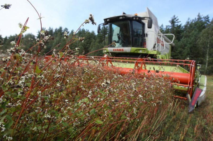 Гречиха посевная выращивание 17